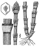 picture of Equisetum hyemale ssp. affine, image of Equisetum hyemale var. affine, photograph of Equisetum hyemale var. affine
