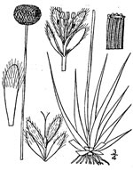 picture of Eriocaulon compressum, image of Eriocaulon compressum, photograph of Eriocaulon compressum