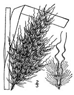picture of Erianthus alopecuroides, image of Saccharum alopecuroides, photograph of Erianthus alopecuroides