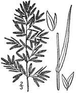 picture of Eragrostis cilianensis, image of Eragrostis cilianensis, photograph of Eragrostis cilianensis