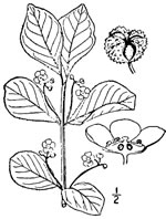 picture of Euonymus obovatus, image of Euonymus obovatus, photograph of Euonymus obovatus