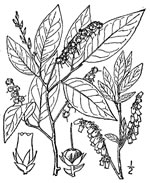 picture of Eubotrys racemosa, image of Eubotrys racemosa, photograph of Leucothoe racemosa