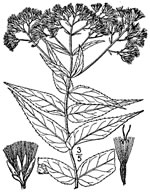 picture of Eupatorium sessilifolium var. brittonianum, image of Eupatorium sessilifolium var. brittonianum, photograph of Eupatorium sessilifolium var. sessilifolium