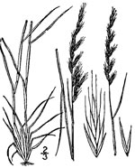 picture of Festuca octoflora var. octoflora, image of Vulpia octoflora var. octoflora , photograph of Festuca octoflora
