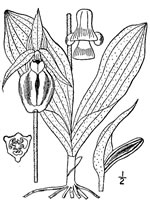 picture of Cypripedium acaule, image of Cypripedium acaule, photograph of Cypripedium acaule
