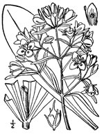 picture of Frasera caroliniensis, image of Frasera caroliniensis, photograph of Swertia caroliniensis