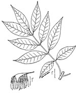picture of Fraxinus pennsylvanica, image of Fraxinus pennsylvanica, photograph of Fraxinus pennsylvanica +
