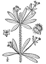 picture of Galium aparine, image of Galium aparine, photograph of Galium aparine