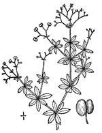picture of Galium asprellum, image of Galium asprellum, photograph of Galium asprellum