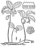 picture of Gaultheria procumbens, image of Gaultheria procumbens, photograph of Gaultheria procumbens