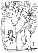 picture of Iris domestica, image of Belamcanda chinensis, photograph of Belamcanda chinensis