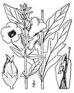 picture of Aureolaria flava, image of Aureolaria flava var. flava, photograph of Aureolaria flava