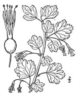 picture of Ribes rotundifolium, image of Ribes rotundifolium, photograph of Ribes rotundifolium