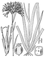 picture of Lachnanthes caroliniana, image of Lachnanthes caroliana, photograph of Lachnanthes caroliniana