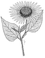 picture of Helianthus annuus, image of Helianthus annuus, photograph of Helianthus annuus