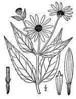picture of Helianthus pauciflorus ssp. pauciflorus, image of Helianthus pauciflorus ssp. pauciflorus, photograph of -