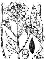 picture of Hesperis matronalis, image of Hesperis matronalis, photograph of Hesperis matronalis