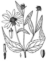 picture of Helianthus strumosus, image of Helianthus strumosus, photograph of Helianthus strumosus