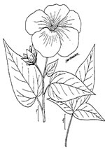 picture of Hibiscus laevis, image of Hibiscus laevis, photograph of Hibiscus militaris