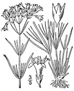picture of Houstonia nigricans var. nigricans, image of Stenaria nigricans var. nigricans, photograph of -