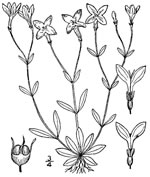 picture of Houstonia caerulea, image of Houstonia caerulea, photograph of Houstonia caerulea