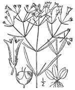 picture of Houstonia tenuifolia, image of Houstonia longifolia, photograph of Houstonia tenuifolia