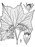 picture of Hydrophyllum canadense, image of Hydrophyllum canadense, photograph of Hydrophyllum canadense