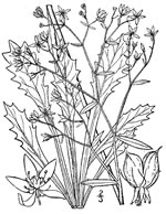 picture of Hydatica species 1, image of Saxifraga michauxii, photograph of Saxifraga michauxii
