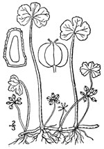 picture of Hydrocotyle ranunculoides, image of Hydrocotyle ranunculoides, photograph of Hydrocotyle ranunculoides