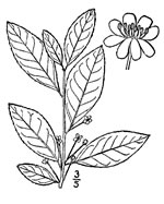 picture of Ilex laevigata, image of Ilex laevigata, photograph of Ilex laevigata