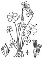picture of Oxalis violacea, image of Oxalis violacea, photograph of Oxalis violacea