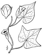 picture of Ipomoea lacunosa, image of Ipomoea lacunosa, photograph of Ipomoea lacunosa