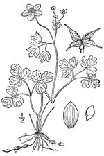picture of Enemion biternatum, image of Enemion biternatum, photograph of Isopyrum biternatum