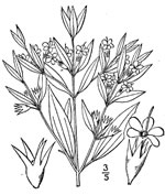 picture of Trichostema brachiatum, image of Trichostema brachiatum, photograph of -
