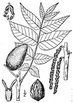 picture of Juglans cinerea, image of Juglans cinerea, photograph of Juglans cinerea