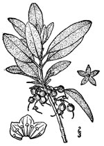 picture of Kalmia carolina, image of Kalmia carolina, photograph of Kalmia angustifolia var. caroliniana