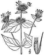 picture of Pycnanthemum setosum, image of Pycnanthemum setosum, photograph of Pycnanthemum setosum