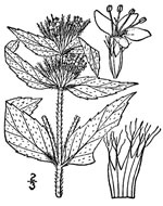 picture of Pycnanthemum pycnanthemoides +, image of Pycnanthemum pycnanthemoides +, photograph of Pycnanthemum incanum