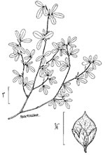 picture of Kummerowia striata, image of Kummerowia striata, photograph of Lespedeza striata