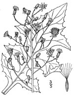 picture of Lactuca biennis, image of Lactuca biennis, photograph of Lactuca biennis