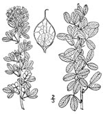 picture of Lespedeza frutescens, image of Lespedeza frutescens, photograph of Lespedeza violacea