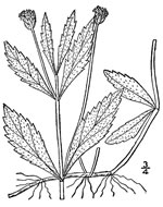 picture of Phyla lanceolata, image of Phyla lanceolata, photograph of Lippia lanceolata