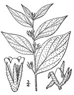picture of Lithospermum latifolium, image of Lithospermum latifolium, photograph of -