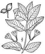 picture of Lonicera canadensis, image of Lonicera canadensis, photograph of Lonicera canadensis