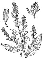 picture of Lobelia inflata, image of Lobelia inflata, photograph of Lobelia inflata