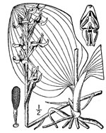 picture of Platanthera orbiculata, image of Platanthera orbiculata, photograph of Habenaria orbiculata