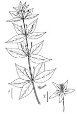 picture of Lysimachia quadrifolia, image of Lysimachia quadrifolia, photograph of Lysimachia quadrifolia