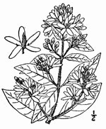 picture of Lysimachia vulgaris, image of Lysimachia vulgaris, photograph of -