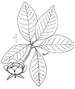 picture of Magnolia virginiana +, image of Magnolia virginiana, photograph of Magnolia virginiana