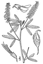 picture of Melilotus albus, image of Melilotus officinalis, photograph of Melilotus alba